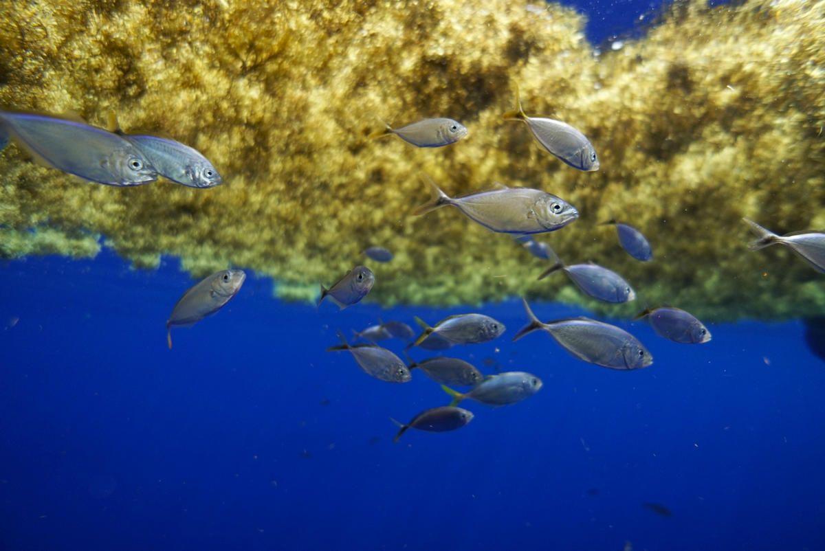 Peces bajo las algas Sargazos, que dan nombre al mar
