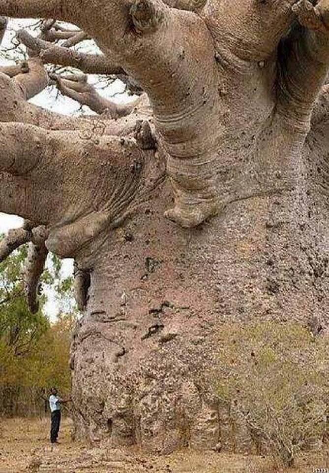 árbol más longevo