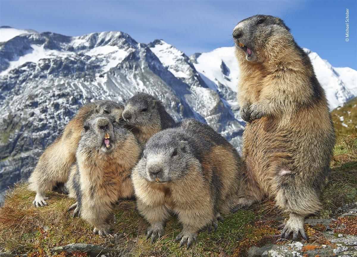 Familia de marmotas. Foto de Michael Schober