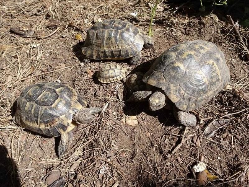 tortugas-moras